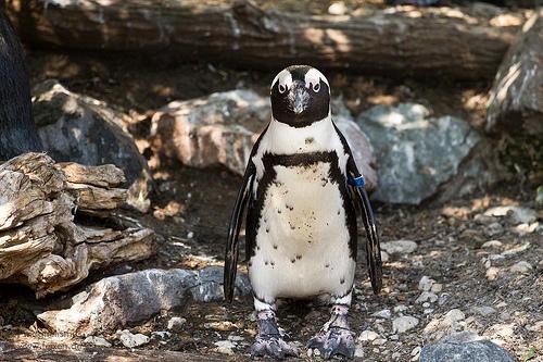 Un pingouin de linux